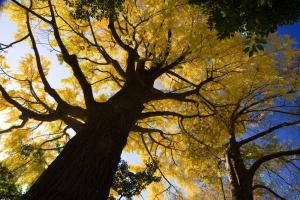 ginkgo_biloba_maidenhair_tree_dinosaur_hd-wallpaper-218840
